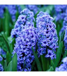 More about Hyacint Sky jacket - Hyacinthus L. - cibuľoviny - 1 ks