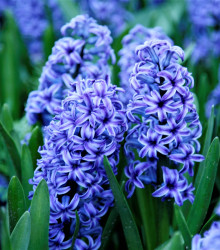 Hyacint Sky jacket - Hyacinthus L. - cibuľoviny - 1 ks