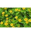 Černonožec bahenný Showstar - Melampodium - semená - 18 ks