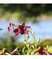 Tabak okrasný voňajúci Deep purple F1 - Nicotiana - semená - 50 ks
