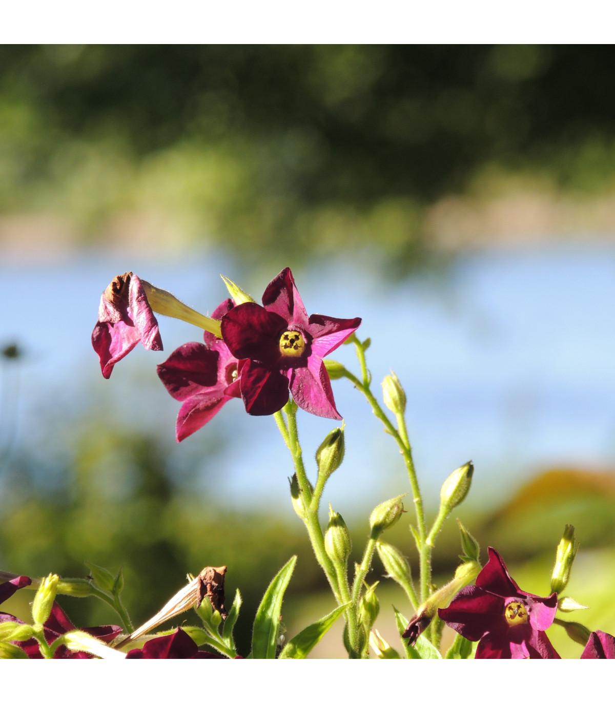 Tabak okrasný voňajúci Deep purple F1 - Nicotiana - semená tabaku - 50 ks