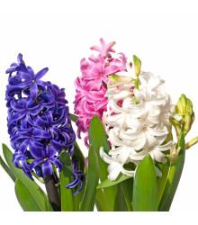 Balíček cibuliek hyacintov - Hyacinthus - cibuľoviny - 4 ks