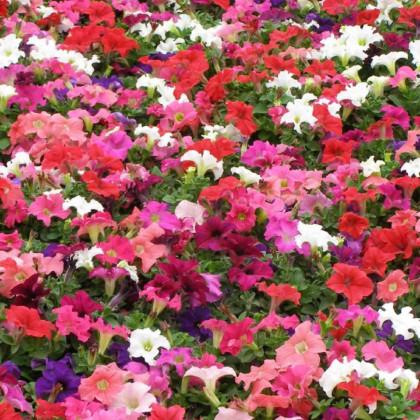 Darčekový balíček semien petúnií - darčekové balenie zadarmo