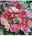 Godécia veľkokvetá zmes farieb - Godetia amoena - semená - 0,1 g