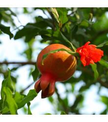 Granátovník - Punica Granatum - semiačka granátovníka - semená - 5 ks