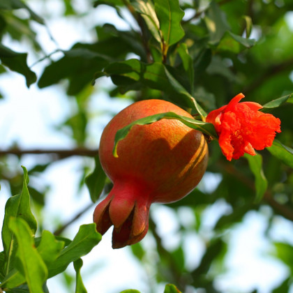 Granátovník púnsky - granátové jablko - Punica Granatum - semená granátovníka - 5 ks
