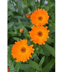 Nechtík lekársky Orange Daisy - Calendula officinalis - semená - 60 ks