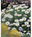 Margaréta balkónová Snowland - Chrysanthemum paludosum - semená - 50 ks