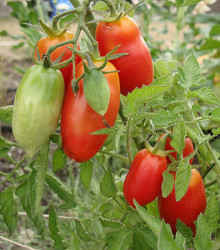BIO paradajka kolíková San Marzano - Lycopersicon esculentum - rajčiak - bio semená rajčiaka - 7 ks