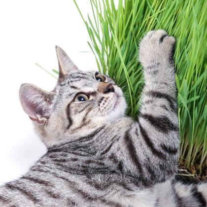 Tráva pre mačky - semená trávy pre mačky - 100 ks