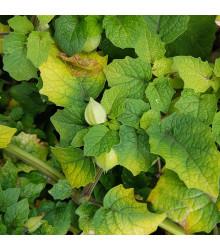 Machovka srienistá Ananas - Physalis pruinosa - tomatillo - semená - 200 ks