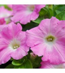 Petúnia Rosy Velvet F1 - Petunia hybrida - surfínia - semená - 12 ks