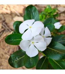 Katarant biely White F1 - Catharanthus - zimozeleň - semená - 30 ks