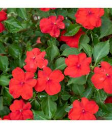 Katarant červený Red F1 - Catharanthus - zimozeleň - semená - 30 ks