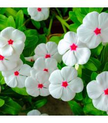 Katarant biely Polka F1 - Catharanthus - zimozeleň - semená - 30 ks