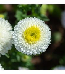 Astra čínska Gracia - Callistephus chinensis - semená - 150 ks