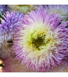 Astra čínska fialová Gerda - Callistephus chinensis - semená - 150 ks