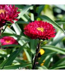 Astra čínska červená Gilda - Callistephus chinensis - semená - 150 ks