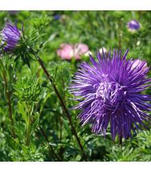 Astra čínska ihlicovitá fialová Denisa - Callistephus chinensis - semená - 150 ks