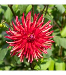Astra čínska ihlicovitá červená - Callistephus chinensis - semená - 150 ks