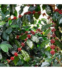 Kávovník arabský Himalaya - Coffea arabica Himalaya - semená kávovníka - 5 ks