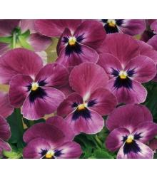 Fialka rohatá Sorbet Carmine - Viola cornuta - semená - 20 ks