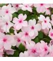 Netýkavka Accent ružová F1 - Impatiens walleriana - semená - 15 ks