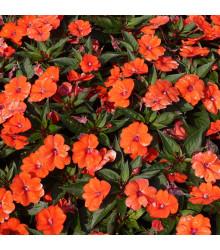 Netýkavka Accent oranžová F1 - Impatiens walleriana - semená - 15 ks