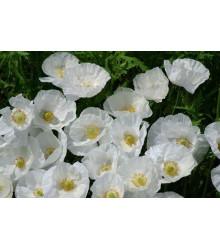 Mak biely Bridal Silk - Papaver rhoeas - semená - 150 ks