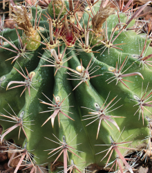 Ferokaktus - Ferocactus chrysacanthus - semená - 6 ks