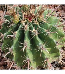 Ferokaktus - semená ferokaktusu - semiačka - 6 ks