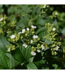BIO stévia sladká - Stevia rebaudiana - bio semená stévie - 12 ks