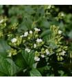 BIO Stévia sladká - Stevia rebaudiana - bio semená - 12 ks