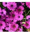 Africká sedmokráska - zmes - Osteospermum eclonis asti mix - semená - 6 ks