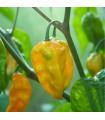 Chilli Habanero Lemon - Capsicum Chinense - semená - 10 ks