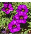 Minipetúnia Kabloom Blue F1 - Milion bells - Calibrachoa hybrida - semená - 7 ks