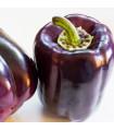 Paprika Zulu - Capsicum annuum - semená - 10 ks