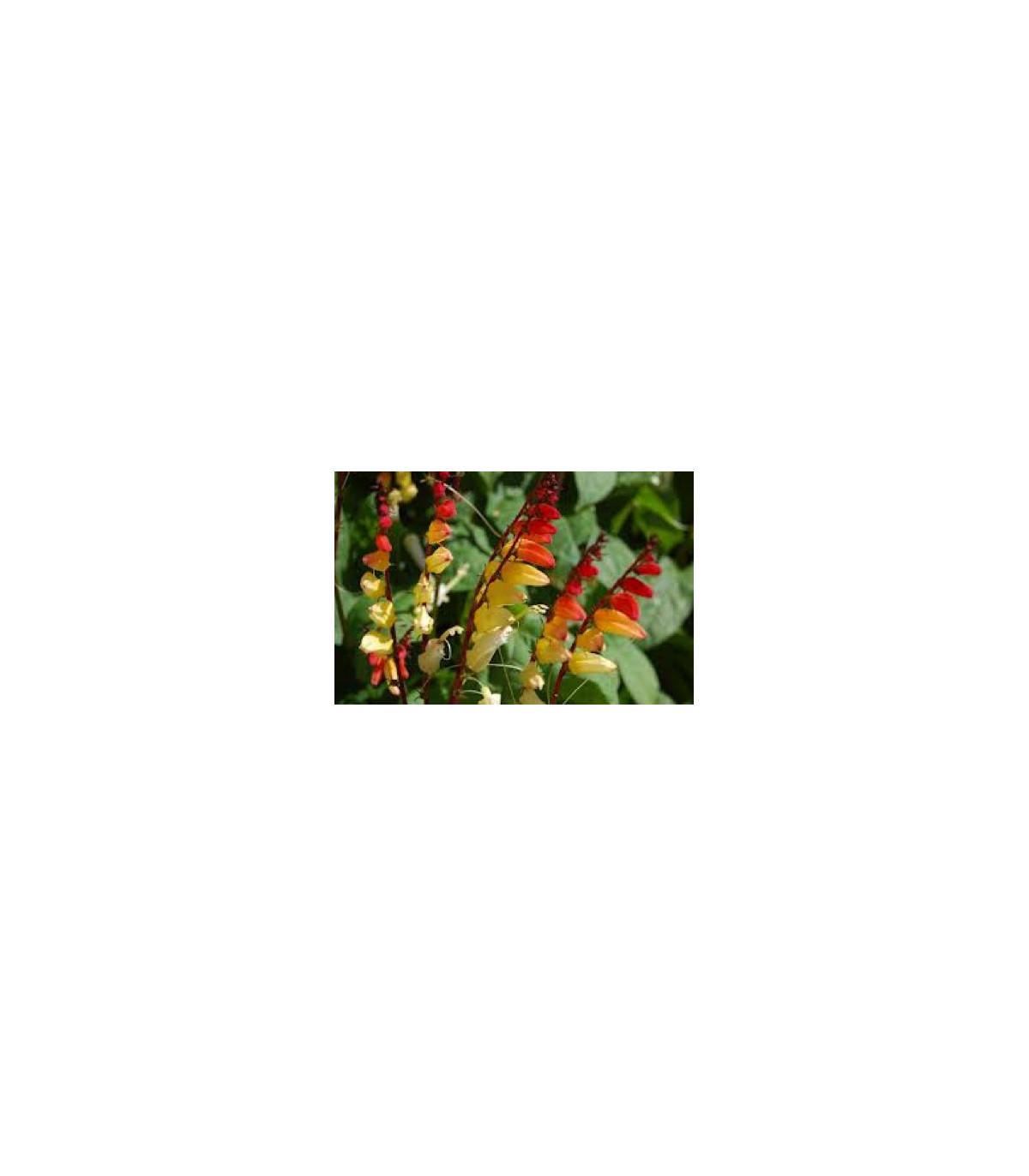 Mina laločná - kvamoklit - Quamoclit lobata - semená miny - semiačka - 20 ks