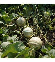 Melón cukrový Stellio F1 - Cucumis melo - dyňa - semená - 6 ks