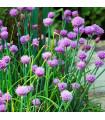 Pažítka pobrežná Staro - Allium schoenoprassum - semená - 40 ks