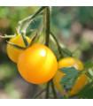Paradajka Goldkrone - Lycopersicon esculentum - rajčiak - semená - 10 ks