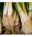 Cibuľa zimná zväzková Freddy - Allium fistulosum - semená - 250 ks
