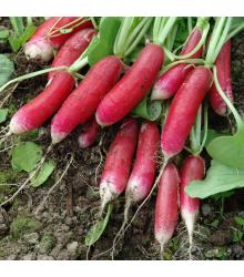 Reďkovka Slovana - Raphanus sativus - semená - 300 ks