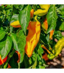 Paprika oranžová Ornela - Capsicum annuum - semená - 50 ks