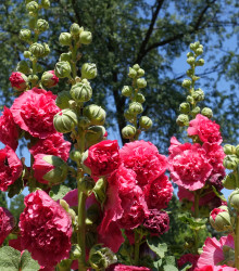 Topoľovka mix - Alcea rosea carnival mix - semená - 40 ks