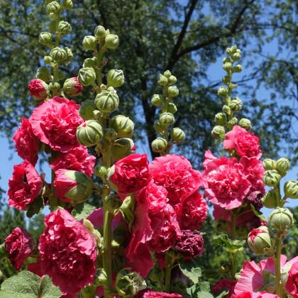 Topoľovka ružová - letný karneval - 40 ks