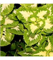 Africká pŕhľava Wizard Jade - Coleus blumei - semená - 30 ks
