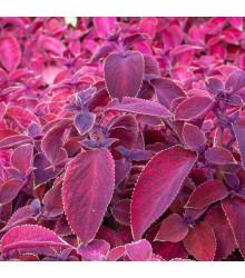 Africká pŕhľava Wizard Velvet Red - Coleus blumei - semená - 30 ks