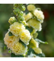 Topoľovka žltá Chaters - Alcea rosea - semená - 12 ks