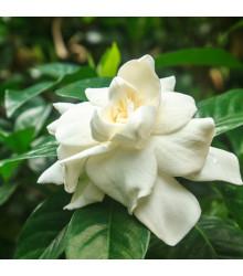 Gardenia - Gardenia jasminoides - semená gardénie - semiačka - 6 ks